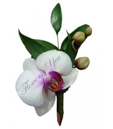 Cocarde phalaenopsis